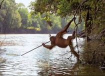 A Spearfishing Orangutang