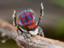 A specimen of the newly-discovered Australian Peacock spider Maratus Bubo shows off his colorful abdomen