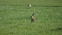 A spingtime hare in the grass