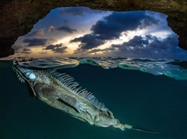 A spiny-backed iguana floats by photographer Lorenzo Mittiga in the Bonaire Caves of the Dutch Caribbean x