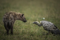 A Spotted Hyena Crocuta crocuta and a White-backed Vulture Gyps africanus locked in a stare-down Majed Al Zaabi