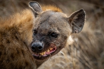 A spotted hyena in Kruger National Park lets me know what she thinks She was chewing on the skull of a zebra carcass as I approached in my vehicle but she didnt seem to enjoy having company