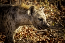 A spotted hyena takes a juicy bone away from the clan to enjoy in peace Amazing animals and among the most intelligent in the African savannah but incorrectly much maligned sadly