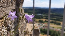 A spreading bellflower on the side of a wall of a castle ruine at m height Flossenbrg Germany