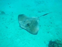 A stingray off the coast of Belize