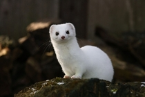 A stoat Mustela erminea in winter-white coat