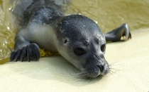 A stranded seal pup at the seal station in Friedrichskook Germany