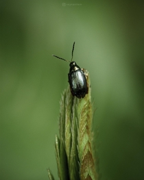 A studded flea beetle preparing for the leap