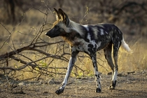 A stunning African wild dog in Kruger National Park