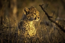 A stunning cheetah cub watches the sunset in Kruger National Park