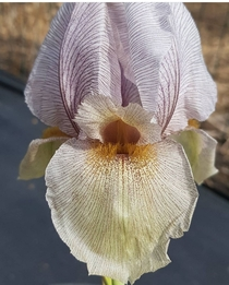 A stunning Iris gatesii One of my dream plants