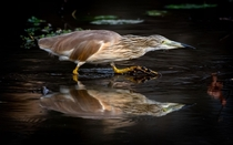 A stunning squacco heron hunting at Lake Panic Hide in Kruger National Park