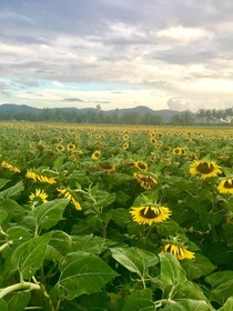 A sunflower field in Gunica Puerto Rico