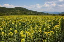 A sunflower field somewhere under the Balkans