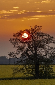 A Sunset for a Single Wood Pigeon - Newport Staffordshire UK  x OC