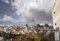 A swarm of locusts invades the center of Madagascars capital of Antananarivo August    Photo by Rijasolo