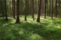 A Swedish forest full of troll and fairies