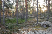 A Swedish forest meeting the morning sun