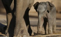 A three day old baby Asian Elephant elephas maximus walks with his mother at Chester Zoo England