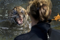A three-month-old Sumatran tiger cub named Bandar reacts after being dunked in the tiger exhibit moat for a swimming test at the National Zoo in Washington DC All cubs born at the zoo must take a swim test before being allowed to roam in the exhibit Banda