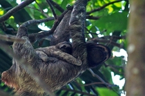 A three toed sloth with its baby in Costa Rica