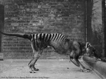 A thylacine or Tasmanian tiger in captivity circa  The last thylacine died in captivity in