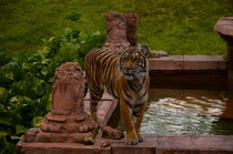 A Tiger at Disneys Animal Kingdom