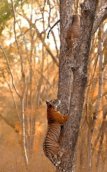 A tiger hunting down a leopard in Ranthambhore National Park India