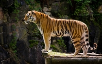 A tiger standing on a cliff x