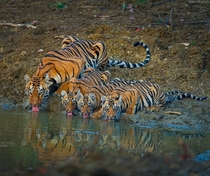 A tigress and her  cubs drinking water