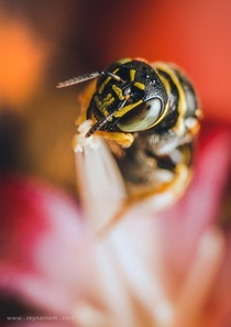 A tiny carpenter bee foraging