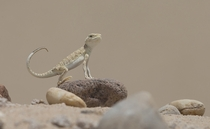A Toad-headed Agamid relaxes over a hot stone in the desert in Kuwait Omar Alshaheen