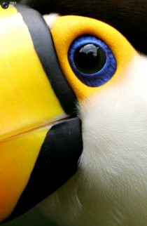 A toco toucan up close