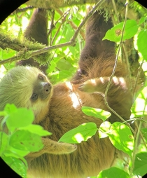 A -toed sloth I found scratching his belly in the Monteverde Cloud Forest CR OC