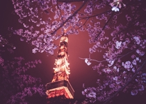 A Tokyo night in bloom