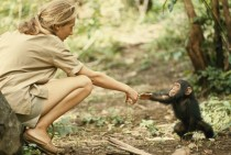 A touching moment between primatologist and National Geographic grantee Jane Goodall and young chimpanzee Flint at Tanzanias Gombe Stream Reserve