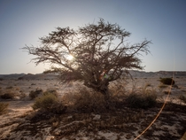 A tough tree standing in the middle of the desert Tzukim Israel