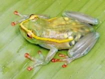 A transparent pregnant frog x-post from rpics