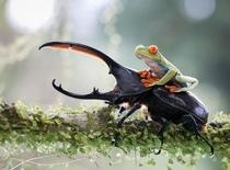 A Tree Frog Riding a Titan Beetle