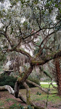 A tree in DeLeon Spring state park Florida