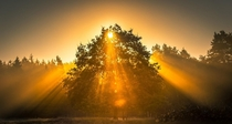 A tree in the golden sunrise Lneburg Heath germany
