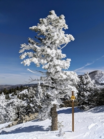 A tree on top of Big Bear Mountain CA The snow is sideways on the tree due to the wind The chairlift ride was worth it
