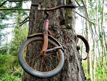 A tree that grew around an abandoned bike that was left many years ago Vashon Island Washington State