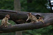 A trio of adorable barbary macaques  Photographed by Ralf