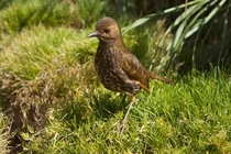 A Tristan Thrush on Nightingale island Brian Gratwicke   x-post rHI_Res