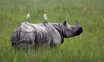 A truly gentle giant A greater one horned indian rhino letting some herons rest on his back