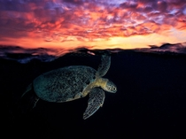 A turtle comes up for air at sunset near the Comoross Mayotte Island By Gaby Barathieu