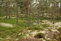 A typical green and white Swedish forest