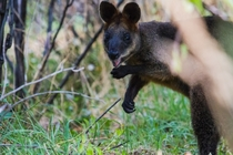 A Very Happy Swamp Wallaby