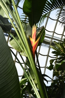 A very nice Heliconia at Palmenhaus Schnbrunn Sadly the exact species is unknown to me